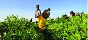 • FARMERS in a Cassava field.